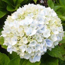 Hydrangea macrophylla Peppermint (Forever & Ever Series)